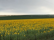 The sunflower fields on the way to my site absolutely struck wonder straight into my heart.